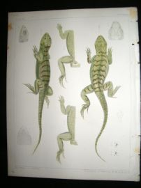 Spencer Baird & Joseph Henry 1860 Hand Col Print. California Lizards 8